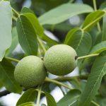 Ceaiul din frunze de nuc bun pentru diabetici