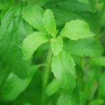 Stevia, indulcitorul natural pentru diabetici, poate creste si la noi